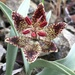 Fritillaria falcata - Photo (c) Matt Berger, algunos derechos reservados (CC BY)
