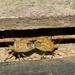 Diceraeus melacanthus - Photo (c) Diogo Luiz, algunos derechos reservados (CC BY-SA)