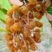 Sapindus drummondii - Photo (c) Rick Travis,  זכויות יוצרים חלקיות (CC BY-NC)
