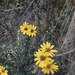 Monticalia peruviana - Photo (c) Daniel Arias Cruzatty, some rights reserved (CC BY-NC)