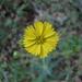 Anisocarpus - Photo (c) randomtruth, algunos derechos reservados (CC BY-NC-SA)