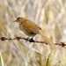 Tawny Grassbird - Photo (c) sea-kangaroo, some rights reserved (CC BY-NC-ND)