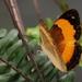 Cupha prosope - Photo (c) Deborah  Metters, algunos derechos reservados (CC BY-NC-SA)