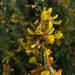 Acmispon glaber - Photo (c) stonebird, μερικά δικαιώματα διατηρούνται (CC BY-NC-SA)