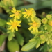 Shore Groundsel - Photo (c) tangatawhenua, some rights reserved (CC BY-NC)