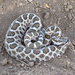 Western Massasauga - Photo (c) Adam W. Ferguson, some rights reserved (CC BY-NC)