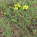 Madia gracilis - Photo (c) randomtruth, algunos derechos reservados (CC BY-NC-SA)