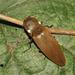 Pyrophorus - Photo (c) Diogo Luiz,  זכויות יוצרים חלקיות (CC BY-SA)