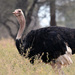 Maasai Ostrich - Photo (c) Josh Cantor, some rights reserved (CC BY-NC)