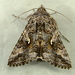 Autographa californica - Photo (c) Dick, algunos derechos reservados (CC BY-NC-SA)