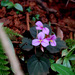 Sonerila scapigera - Photo (c) Jayesh Patil,  זכויות יוצרים חלקיות (CC BY-NC-ND)