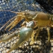 Virile Crayfish - Photo (c) Aaron Reed, some rights reserved (CC BY-NC)