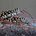 Placosternus - Photo (c) Jerry Oldenettel, algunos derechos reservados (CC BY-NC-SA)