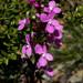 Stylidium graminifolium - Photo (c) Alan Melville,  זכויות יוצרים חלקיות (CC BY-NC-ND)