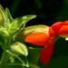 Mimulus cardinalis - Photo (c) James Gaither, algunos derechos reservados (CC BY-NC-ND)