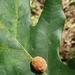 Andricus quercusflocci - Photo (c) Andy Deans, algunos derechos reservados (CC BY)