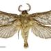 Aoraia flavida - Photo (c) Landcare Research New Zealand Ltd., algunos derechos reservados (CC BY)