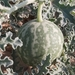 Citrullus colocynthis - Photo (c) Mohammad Marafi, alguns direitos reservados (CC BY-NC)