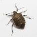 Halyomorpha - Photo (c) Stanley Chan, algunos derechos reservados (CC BY-NC)
