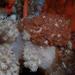 Capnella thyrsoidea - Photo (c) Georgina Jones, some rights reserved (CC BY-SA)