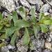 Gypsophila perfoliata - Photo (c) Dina Nesterkova, algunos derechos reservados (CC BY-NC)