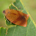 Carnation Tortrix - Photo (c) Ombrosoparacloucycle, some rights reserved (CC BY-NC-SA)