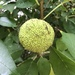 Osage-Orange - Photo (c) hilliri, some rights reserved (CC BY-NC)