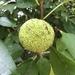 Maclura pomifera - Photo (c) hilliri,  זכויות יוצרים חלקיות (CC BY-NC)