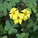 Bermuda Buttercup - Photo (c) Aleta Rodriguez, some rights reserved (CC BY-NC-ND)