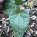 Pleogyne australis - Photo (c) Greg Tasney, μερικά δικαιώματα διατηρούνται (CC BY-SA)