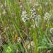 Plantago erecta - Photo (c) randomtruth, algunos derechos reservados (CC BY-NC-SA)