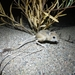 Hairy-footed Jerboa - Photo (c) Svyatoslav Knyazev, some rights reserved (CC BY)
