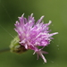 Little Ironweed - Photo (c) 葉子, some rights reserved (CC BY-NC-ND)