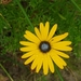 Ursinia anthemoides - Photo (c) ed elton,  זכויות יוצרים חלקיות (CC BY-NC)