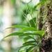 Peperomia lancifolia - Photo (c) gaertnerneuwirth, osa oikeuksista pidätetään (CC BY-NC)