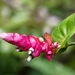 Cavendishia complectens - Photo (c) gaertnerneuwirth, algunos derechos reservados (CC BY-NC)