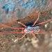 Rainbowia imperator - Photo (c) Cheryl Macaulay, algunos derechos reservados (CC BY-NC)
