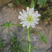 California Chicory - Photo (c) randomtruth, some rights reserved (CC BY-NC-SA)