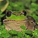Gastrotheca riobambae - Photo (c) osoandino, osa oikeuksista pidätetään (CC BY-NC)