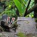 Didelphis pernigra - Photo (c) osoandino, alguns direitos reservados (CC BY-NC)