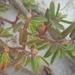 Euphorbia bombensis - Photo (c) Jay Horn,  זכויות יוצרים חלקיות (CC BY)