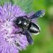 Megachile xylocopoides - Photo (c) Monica Krancevic, osa oikeuksista pidätetään (CC BY-NC)