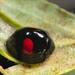 Chilocorus renipustulatus - Photo (c) Gilles San Martin, algunos derechos reservados (CC BY-SA)