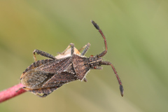 Coriomeris hirticornis - Photo (c) Gilles San Martin, μερικά δικαιώματα διατηρούνται (CC BY-SA)