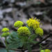 Sanicula crassicaulis - Photo (c) Larry,  זכויות יוצרים חלקיות (CC BY-NC-SA)