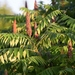Sumacs - Photo (c) roamingthewoods, some rights reserved (CC BY-NC)