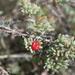 Enchylaena tomentosa - Photo (c) sunphlo, algunos derechos reservados (CC BY-NC-ND)