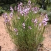 Astragalus toanus - Photo (c) loganjlbradley, alguns direitos reservados (CC BY)