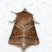 Fingered Lemmeria Moth - Photo (c) Owen Strickland, some rights reserved (CC BY-NC)