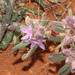Trianthema pilosa - Photo (c) Pete Woodall, algunos derechos reservados (CC BY-NC)
